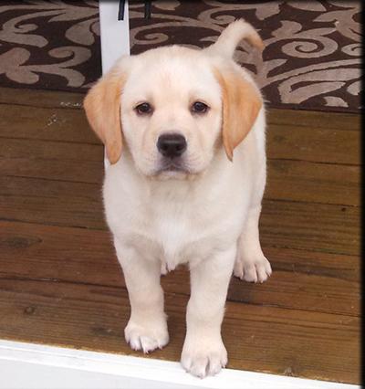Lab Dog Puppy Price Elegant Pup With Lab Dog Puppy Price Fabulous