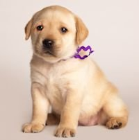 We are Labrador Retriever Breeders specializing in high quality Labrador Retriever puppies for sale in CALIFORNIA, Black Labrador Retriever puppies, Chocolate Labrador puppies, Yellow Lab puppies, English Labrador Puppies for sale in CA, Labrador Retrievers, Show quality Labradors,Hunting Retrievers. English Labrador Breeders located in Southern California, near San Diego, Orange County, Ventura County, Santa Barbara County, Kern County. Also near the cities of Escondido, Fresno, Glendale, Huntington Beach, Laguna Beach, Laguna Hills, Malibu, Manhattan Beach, Monterey, Newport Beach, Palm Springs, Pasadena, San Fransisco, Santa Margarita, Central California. Families also drive from the surrounding states of Nevada, Arizona, Oregon, Utah and New Mexico for our Labrador Puppies