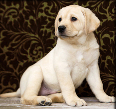 We believe that the Labrador Retriever is the ultimate working dog along with family companion My wife and daughters spend time socializing each puppy to ensure they are ready for their new homes when it is time