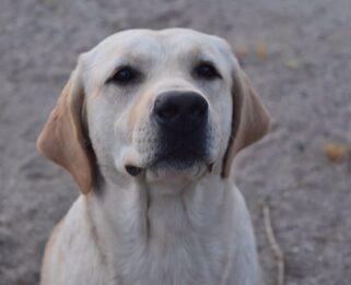 Labrador Puppies Labrador Retriever Breeder In California Black